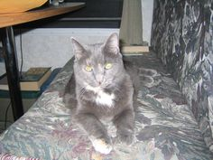 Kurby Girl 7-23-2013 she is 13 and look like a kitten !1