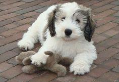 Polish Lowland Sheepdog puppies,