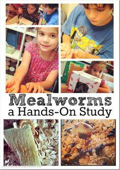 Studying Mealworms with Kids   RaisingLifelongLearners.com