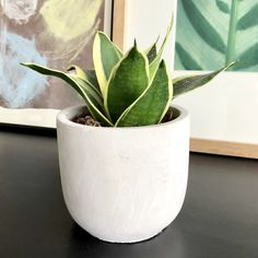 """Snake Plants are known as the """"Unkillable Plant"""" because they can adapt to low light or indirect light and don't require a lot of attention which is perfect for Newbie Plant Lovers or Plant Killers.  Type: Snake Plant  Height: approx. 3-4"""" tall    Container: Cement with rounded bottom     Container Dimensions: 4 3/4"""" diameter x 4 1/4"""" tall Cement Planters, Modern Planters, Planter Pots, Container Dimensions, Snake Plant, Low Lights, Wonders Of The World, Aloe, Greenery"""
