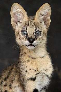 The serval is native to Africa, where it is widely distributed south of the Sahara.