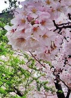 2015/04/01  8:30 御近所桜も満開モードです。雨上がりの桜に若葉も出始めました。 福岡市西区大町団地近く
