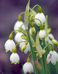 "http://pinterest.com/pin/create/button/?url=http://fineartamerica.com/featured/snowflake-leucojum-aestivum-kay-novy.html=http://fineartamerica.com/images-medium/snowflake-leucojum-aestivum-kay-novy.jpg  ""Snowflake Leucojum Aestivum"" by Kay Novy.  http://kay-novy.artistwebsites.com/"