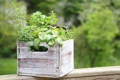 En plantekasse med krydderurter - og myggemidler