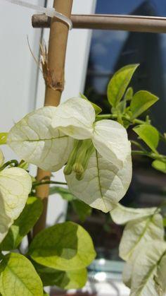 Glabra white bougainvillea