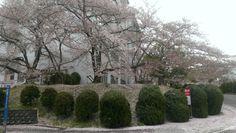 Cherry Trees in full blossom (Osaka, Japan) © beautyworkshop.gr