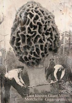 Morel mushrooms grow bigger in Indiana!