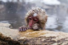 Because who wouldn't want a moment to sit and contemplate life? | There Is A Hot Springs In Japan Where Monkeys Relax All Day