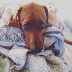 Can I sleep under the blankies with you tonight?  |  @2houndsandabeauce #woofmints #instadog #yorkie #love #tbh #instalove #barkbox #dogsofinstagram #dog #pug #mutt #mood #puppylove #baby #adorable #paws #pets #glutenfree #vegan #labrador #puppygramdaily #instadog #dogstagram #pugs #picoftheday #frenchbulldog #furbabies by woofmints