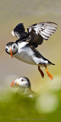 Puffin...first time I've ever seen a pic of these guys flying!