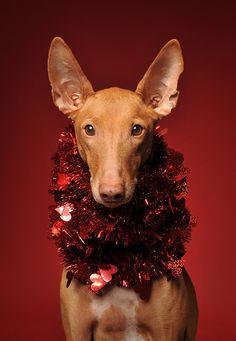 Mike and I's one day dog!!! =P  Egyptian Pharaoh Hound (Kelb tal-Fenek / Klieb tal-Fenek) Puppy Dogs