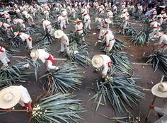 'Jimadores'  #Gave #RecordGuinness #Cactus #Tequila #Mexic #Jalisco #Jimador