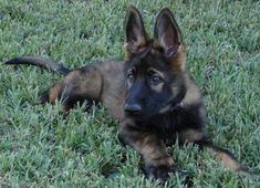 red sable german shepherd - Bing Images: