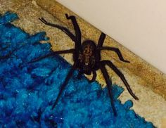 Pas la peine d'envahir votre intérieur d'odeurs toxiques pour chasser les araignées de chez vous. Vous allez pouvoir les éliminer de façon tout à fait naturelle à l'aide de quelques plantes. Voici comment faire: Procurez-vous de la menthe, du basilic ou des feuilles de tomate. Accrochez quelques tiges de ces plantes au plafond ou dans …