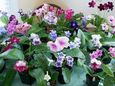 Cape Primrose are #houseplants that flower all year in bright light & moist soil. http://www.houseplant411.com/askjudy/what-is-my-houseplant-3