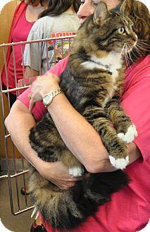 Westampton, NJ - Domestic Mediumhair. Meet C-60695 Hilary, a cat for adoption. http://www.adoptapet.com/pet/11569832-westampton-new-jersey-cat