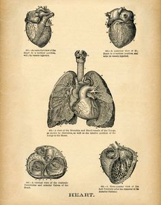 1895 Human Heart Medical Drawing, Anatomy Wall Decor - Human Heart Illustration, Doctor's office Decor, Instant Wall Art, Printable Removed from an 1895 copy of Anatomy Drawing, Anatomy Art, Human Anatomy, Medical Drawings, Medical Art, Heart Illustration, Science Illustration, Medical Illustration, Doctors Office Decor