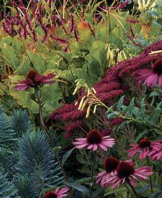 Fall color - 1. persicaria amplexicaulis 'firetail', 2. echinacea purpurea 'rubinstern', 3. sedum 'autumn joy', 4. phygelius X rectus 'moonraker', 5. euphorbia characias ssp. wulfenii