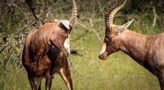 Fightclub  @ Mabalingwe Animal Species, Game Reserve, Nature Reserve, South Africa, Wildlife, African, Vacation, Animals, Animales