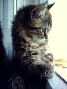 Fluffy kitten looking out the window