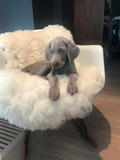 Check out our website for even more relevant information on hunting dogs. It is an outstanding location to learn more. Cute Dogs And Puppies, Baby Dogs, I Love Dogs, Doggies, Animals And Pets, Funny Animals, Blue Eyed Dog, Weimaraner Puppies, Doberman Dogs