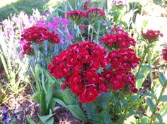 Flores. Red Sweet  William