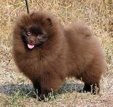 Chocolate Pomeranian