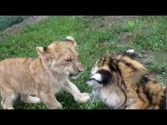 Ive been volunteering at an Animal Preserve called Kowiachobee in Naples Florida for over a year.... these are the 5 month old baby lion and tiger they have there They grew up together so they are brothers .... Depending on how many views comments subscriptions and likes I get on this I will post more and more animals
