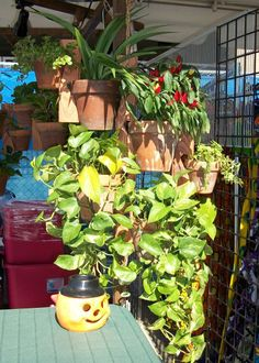"HI Darren hear. Let me tell you how I built this large set. Remember it's a 3 piece set. With a 24"" center board and 2 extensions. On the 2 cut outs at the bottom I placed 2 long Ivy in 6"" pots and on the top 2 cut outs I put a colorful pepper, another flower and 2 suckling's flowers in 4"" pots for the extension, and as I said before I use nothing but real flowers."
