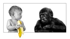 Poster – Baby Chimp & Baby with a Banana (Picture Print Funny Animal Art) Funny Animal Photos, Funny Images, Funny Animals, Funny Pictures, Animals Photos, Tarzan, Funny Babies, Funny Dogs, Banana Picture