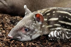 Baby south american tapir is tired