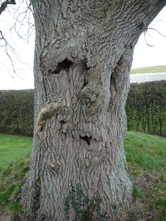 Newgrange Tree with Face