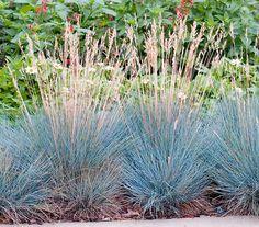 Blauschwingel 'Intense Blue', silber: Dehner Garten Center