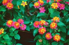 Lantana.... I have been growing these for the past 5 years. SO easy to grow, full sun and no dead heading....LOVE them-D