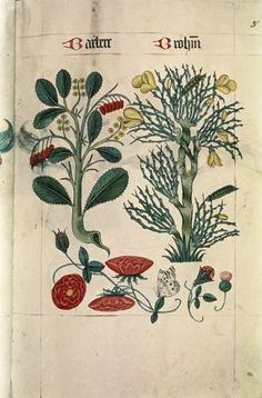 """aubade: """" (via A Tudor Herbal c1520) """" 'Barbere' is the barberry (Berberis vulgaris) and 'Brohm' is the Common Broom (Cytisus scoparius) Barberry fruits were widely used in English cooking at the time of this herbal and are still used in Persian..."""