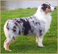 My future dog, an Australian Shepard. These are so pretty.