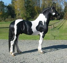 This one is beautiful!  My horse is spotted black and white like this.... love those spots!
