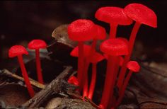 Wax Caps  Fungus in Sumatran rainforest.