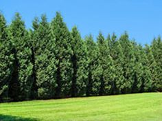 Advice on which evergreen trees to use for privacy