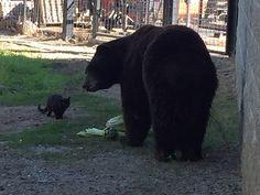 Precious!!!!!!!!!!!   CaT aNd BEaR  are best buddies at Folsom City Zoo Santuary 12NEWS.com