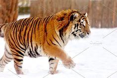 Lynx, Wildlife Photography, Animal Photography, Panthera Tigris Altaica, Big Cat Species, Tiger Facts, Tiger World, Amazing Animals, Siberian Tiger