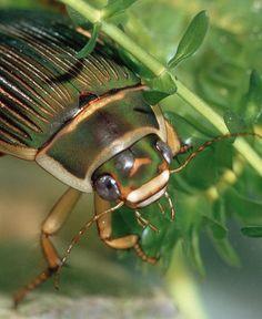 dysticus marginalis, diving beetle, escarabajo buceador