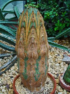 "Euphorbia obesa. Oh my goodness. Is this what my little 2"" tall obesa will eventually grow up into?"