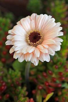 Gerbera Daisy.... My most favorite flower