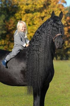 Freisan Horse - Lovely Photo