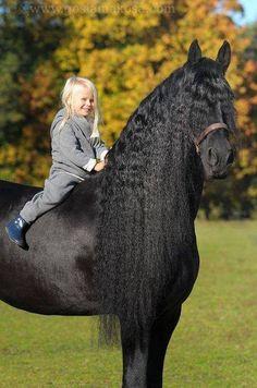 Friesian Horse - Lovely Photo
