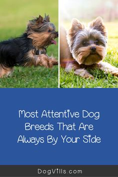 Are you wondering which the most attentive dog breeds are?    You might if you're looking for a dog that's loyal, friendly, and easy to train. Therapy Dog Training, Therapy Dogs, Pet Dogs, Dog Cat, Pets, St Bernard Dogs, Dog Varieties, Most Popular Dog Breeds, Herding Dogs