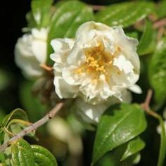 Philadelphus mexicanus 'Double Flowering'atSan Marcos Growers Climbing shrub that can clamber 15ft, or 2ft tall by 15 wide. Evergreen!