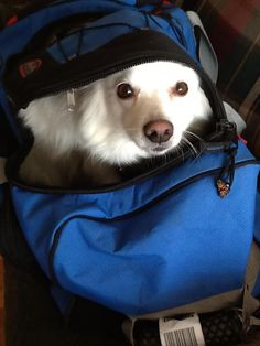 Yuki an American Eskimo - is this not Kody?  and check out his name!