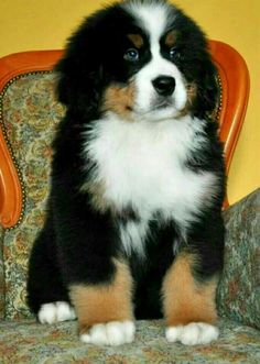 from Jim Herbert Cute Dogs And Puppies, Baby Dogs, I Love Dogs, Pet Dogs, Doggies, Bernice Mountain Dog, Beautiful Dogs, Animals Beautiful, Cute Baby Animals